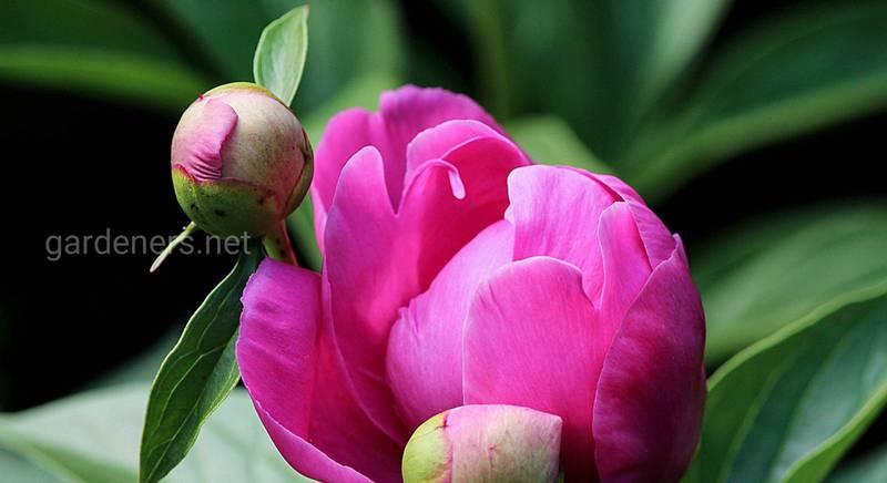 Пионы: семь правил выращивания красивых летних цветов