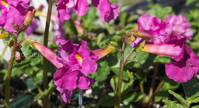 Повний опис інкарвіллеї. Як за нею доглядати розмістити в саду? Частина 1