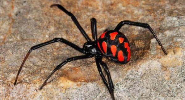 Чем опасен и как избежать укуса паука каракурта?