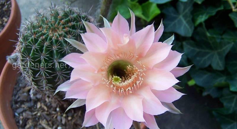 Кактус требует внимания и заботы: советы для цветения этого растения