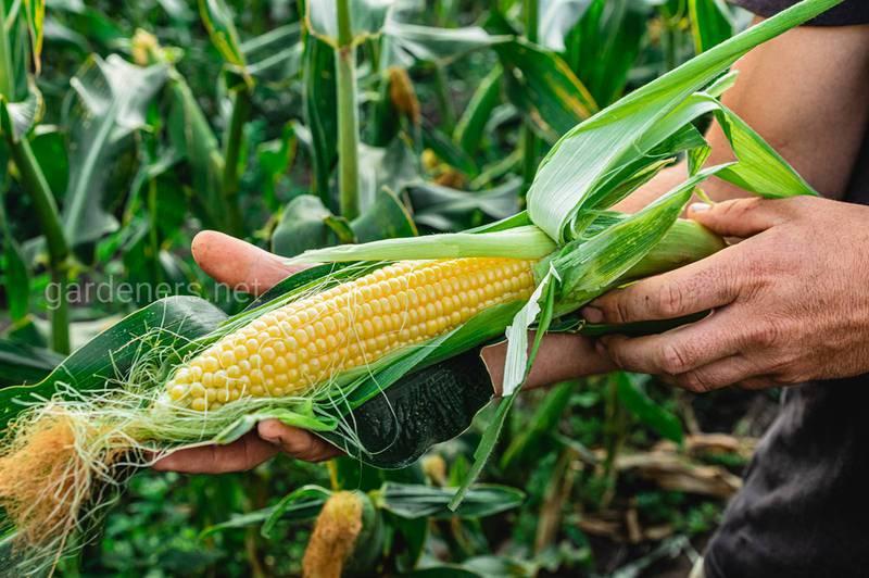 Які ознаки дефіциту загальних поживних речовин кукурудзи?