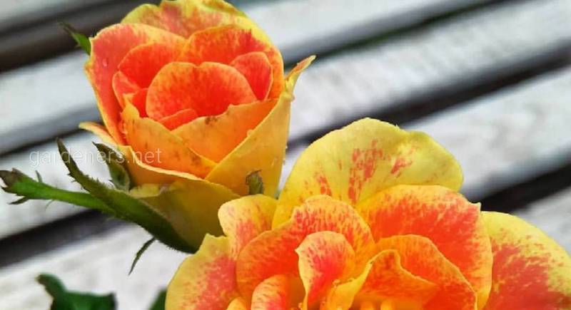 сорт розы Пур Каприз .jpg