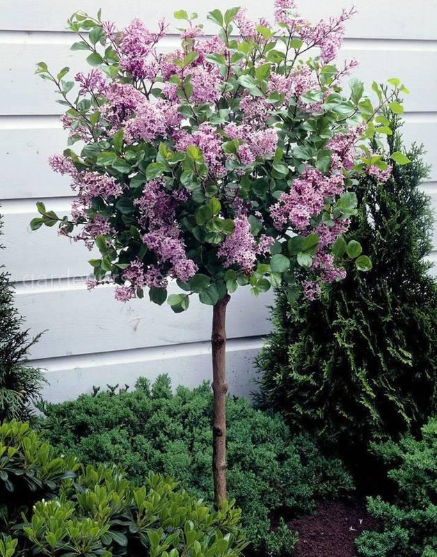Які найпоширеніші види декоративних кущів та дерев можно посадити в садку ?