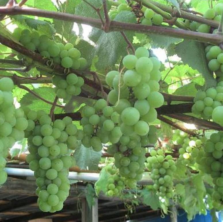 Виноград сорт Юбилейный