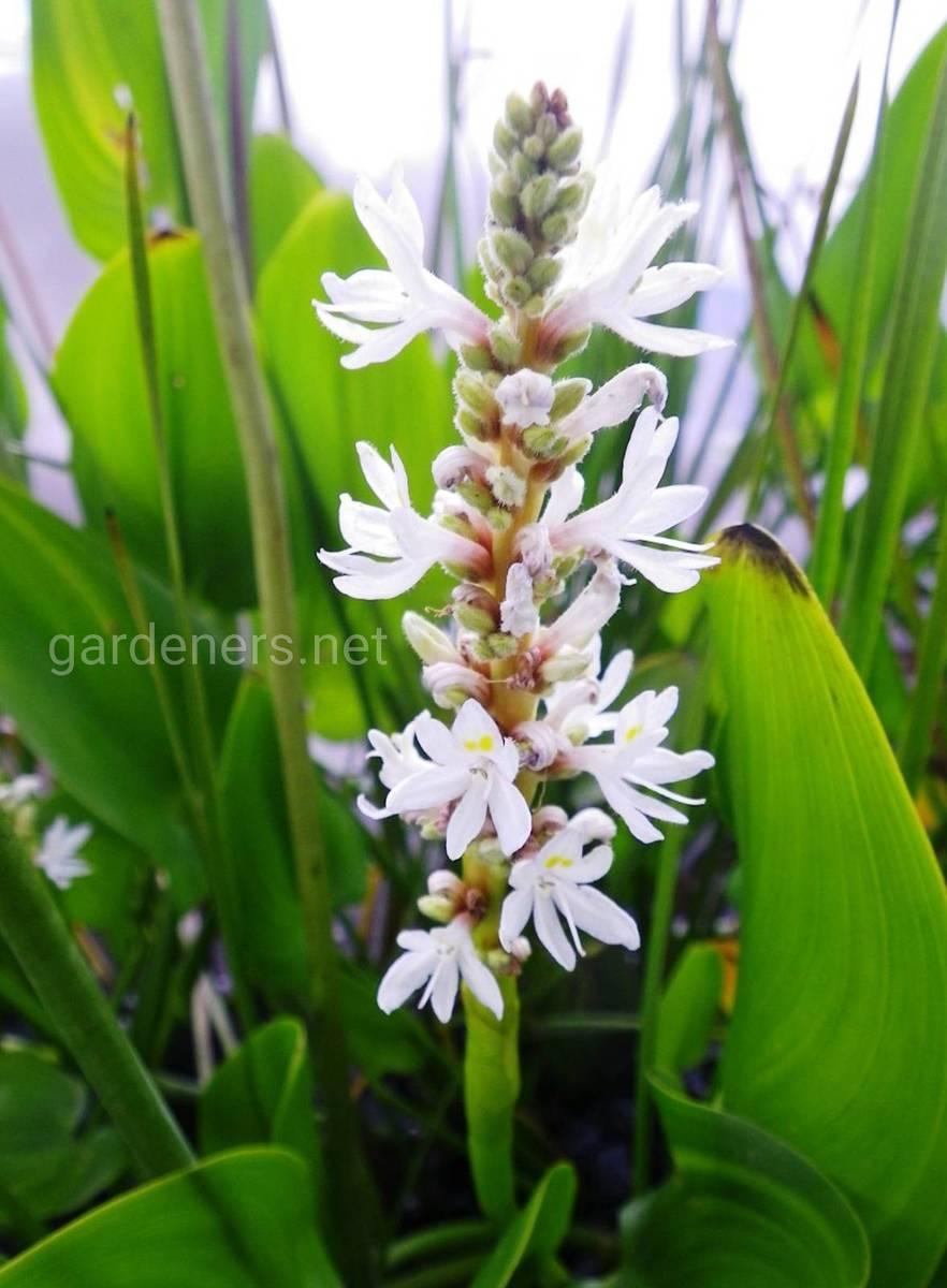 Pontederia Alba
