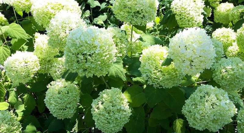 Белая Гортензия - нежная красавица с роскошными шапками цветов!