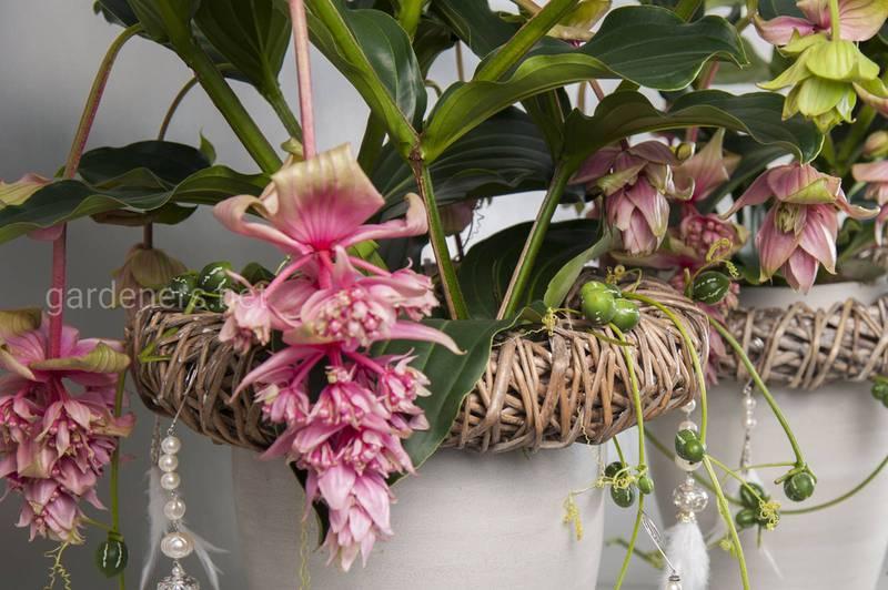 Мединилла - растение для зимнего сада