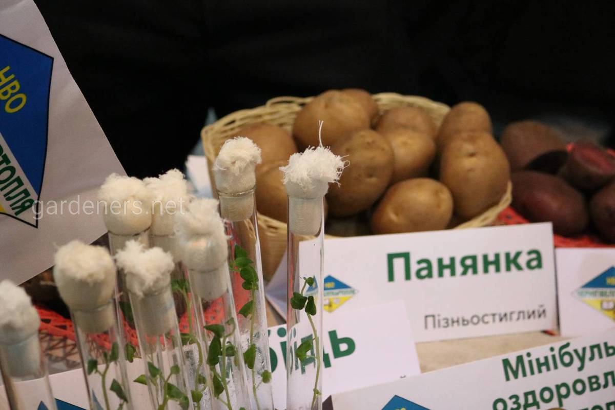 Сорт картоплі Панянка