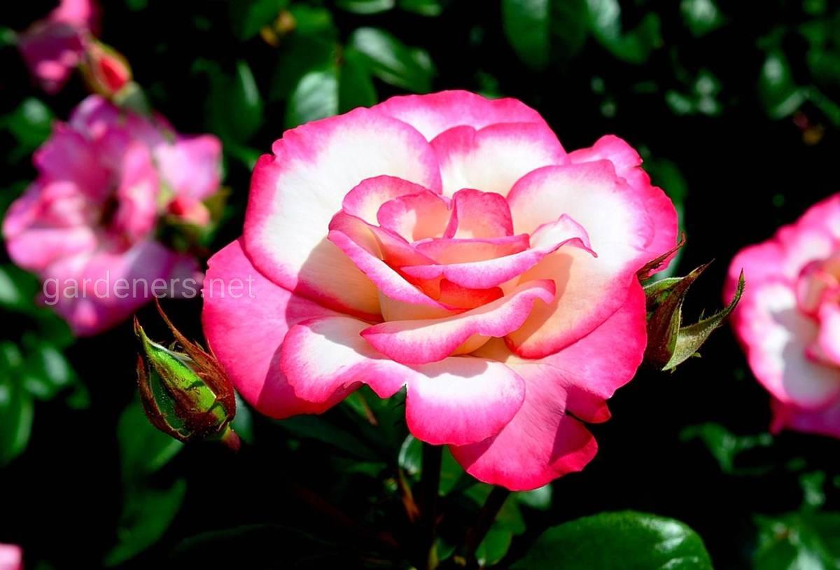 Плетистая роза «Haendel»