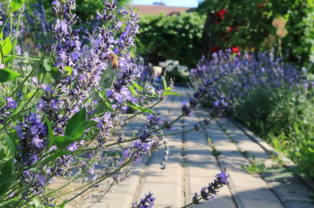 Особливості успішного цвітіння лаванди