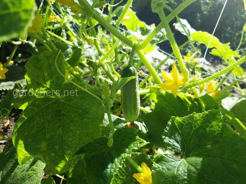 Як вирощувати огірки на тюках?