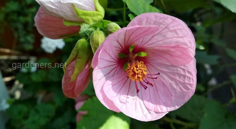 Абутилон на підвіконні та в саду: обираємо цікаві види й сорти