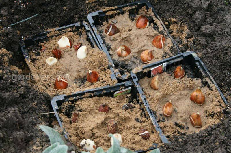 Як правильно посадити тюльпани в горщики?