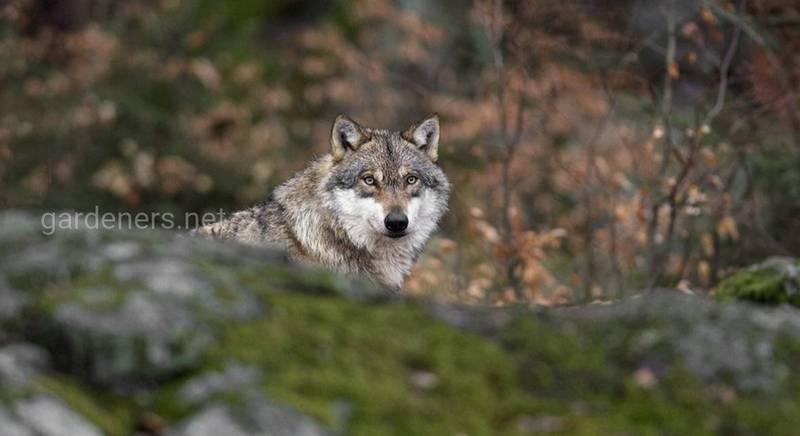 14 интересных фактов о волках