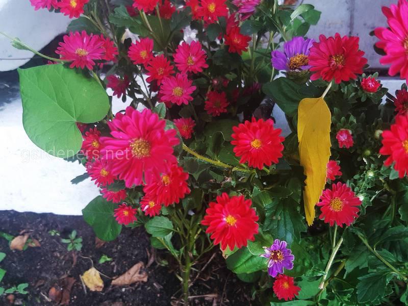 Догляд та розвиток осінніх троянд -хризантем