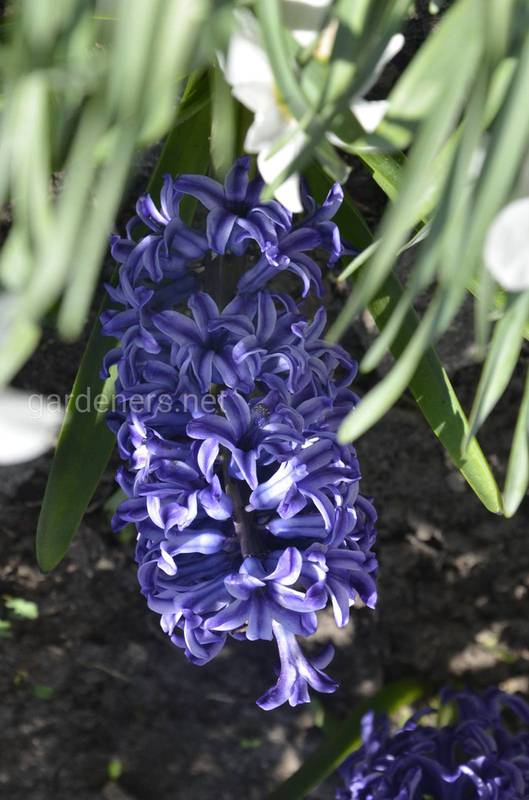 Гиацинт — цветы для души