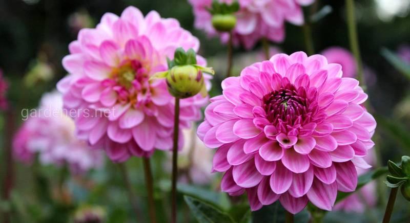 розовый цветник.jpg
