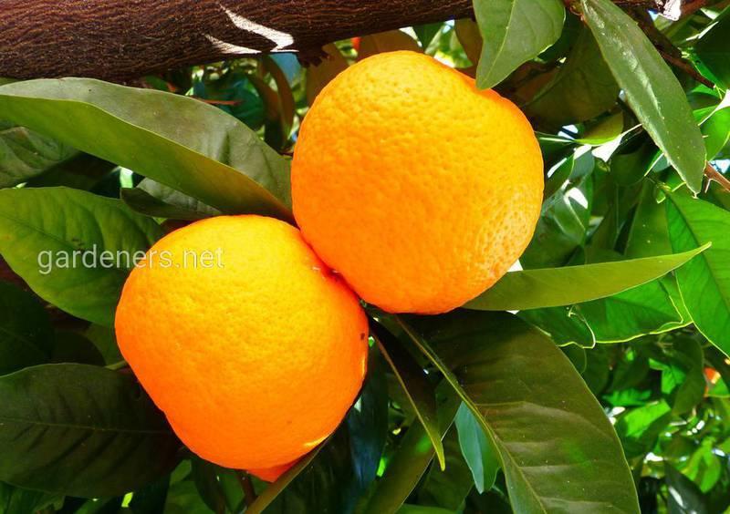 Чем полезна апельсиновая кожура и как ее использовать?