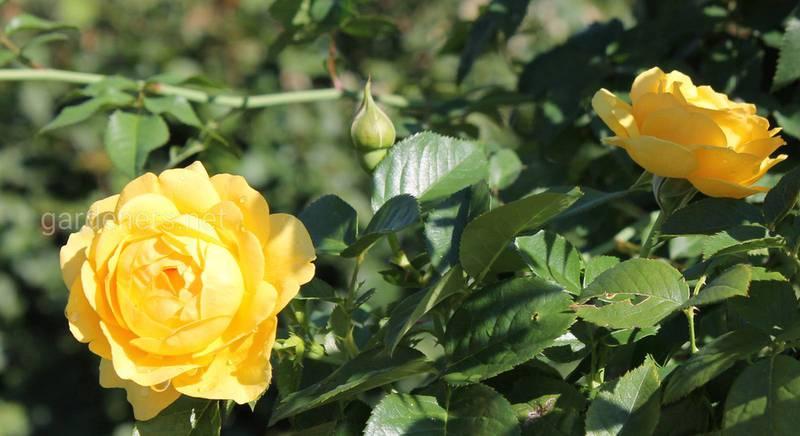 Описание сорта роз - роза спинозиссима гиспида.