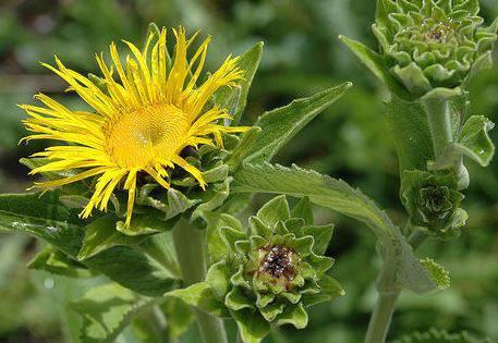 Какие условия необходимы для успешного выращивания девясила?