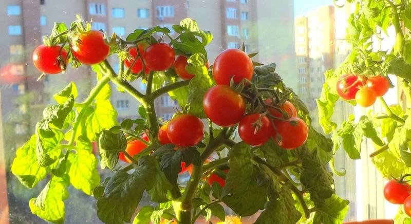 Лучшие сорта томатов для выращивания на подоконнике