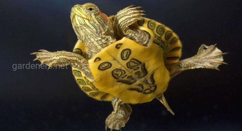 Комнатные черепахи – питомцы без хлопот