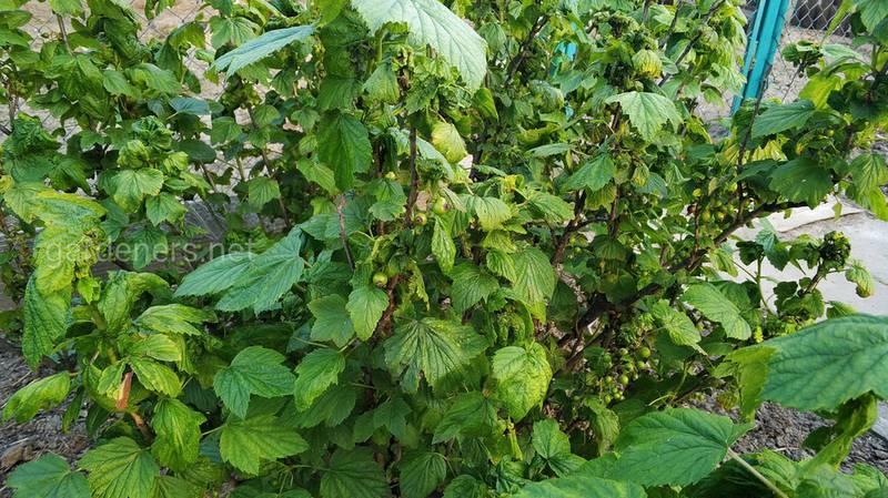 Як вилікувати смородину від борошнистої роси?