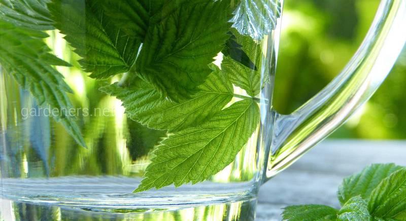 Чай из листьев: как выбирать растения и есть ли польза от них