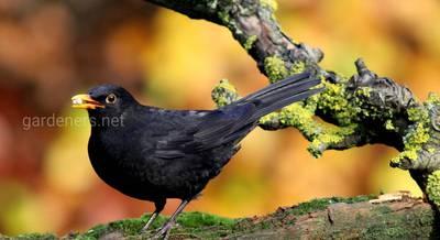 Опасные птицы для сада