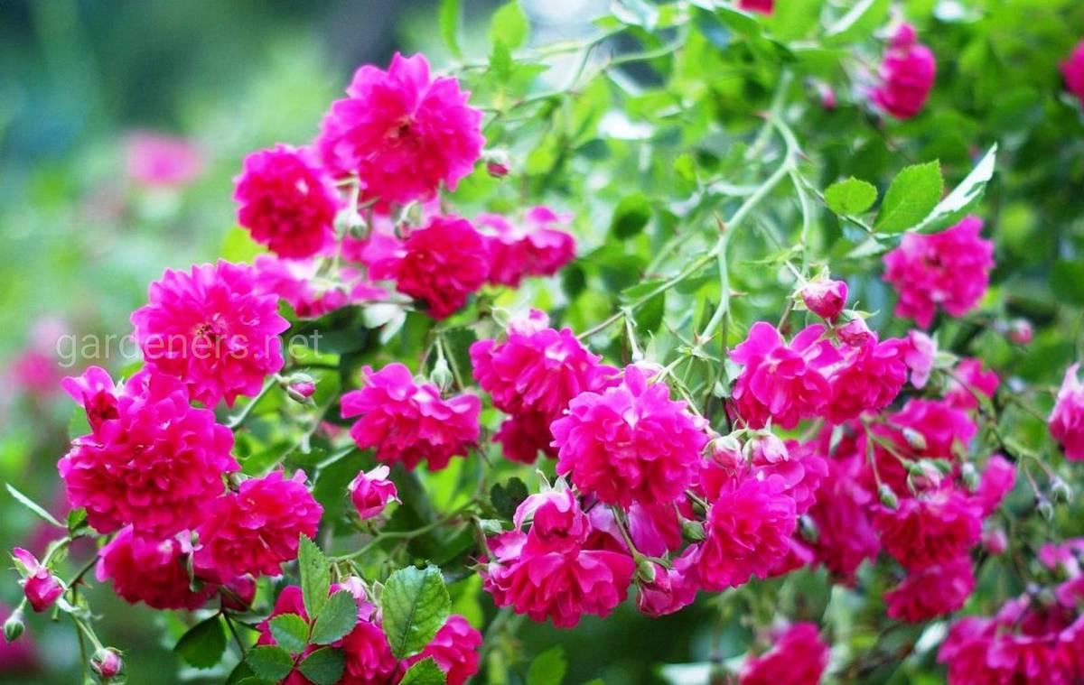 Плетистая роза «Excelsa»