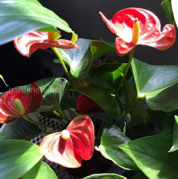 Obake Red Anthurium