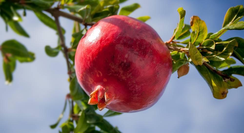 Размножение граната черенками правила выращивания в домашних условиях