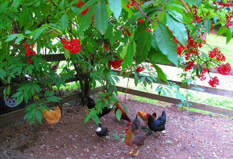 Красная бузина (Sambucus racemosa)