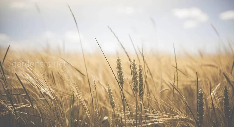 Мочевина - лучшее азотное удобрение для пшеницы!