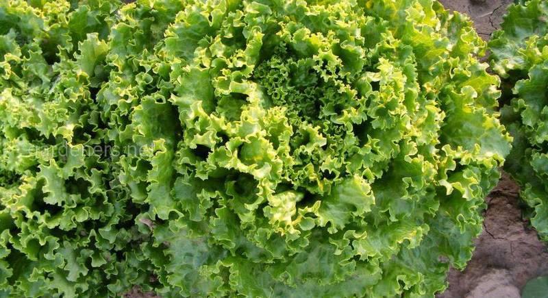 Ендівій - салат з осені до весни