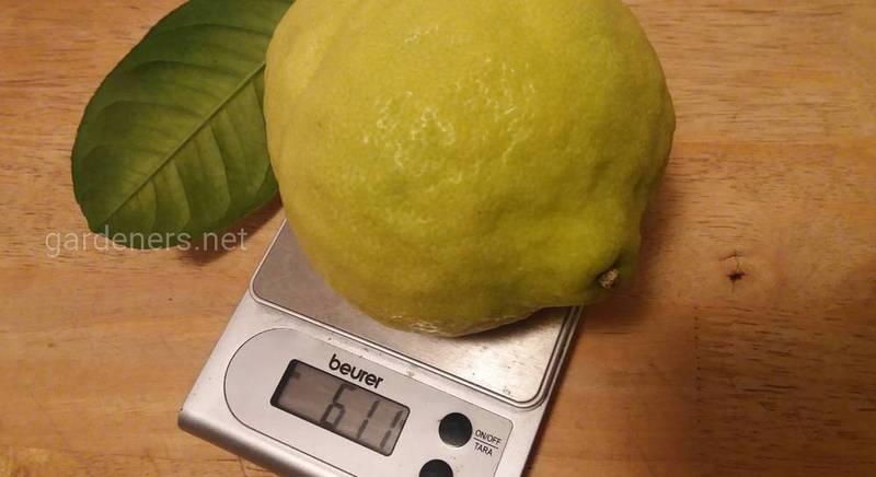 большой лимон.jpg