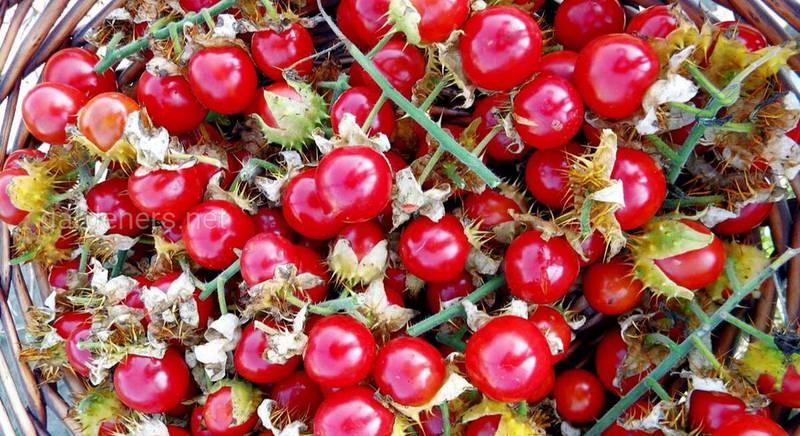 Дикобраз среди овощей: знакомимся с колючим томатом личи