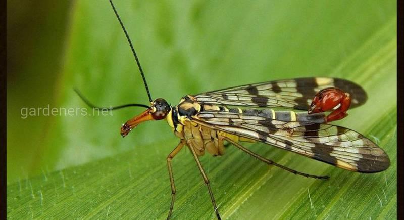 Зачем жало самцу скорпионовой мухи?