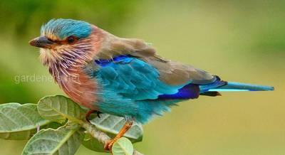 Птица Бенгальская сизоворонка