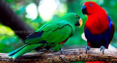 Птах Зелено-червоний папуга еклектус