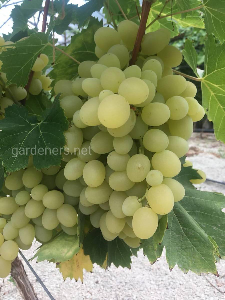 виноградарства з застосуванням агротехнологій ТМ «Жива Хлорела».