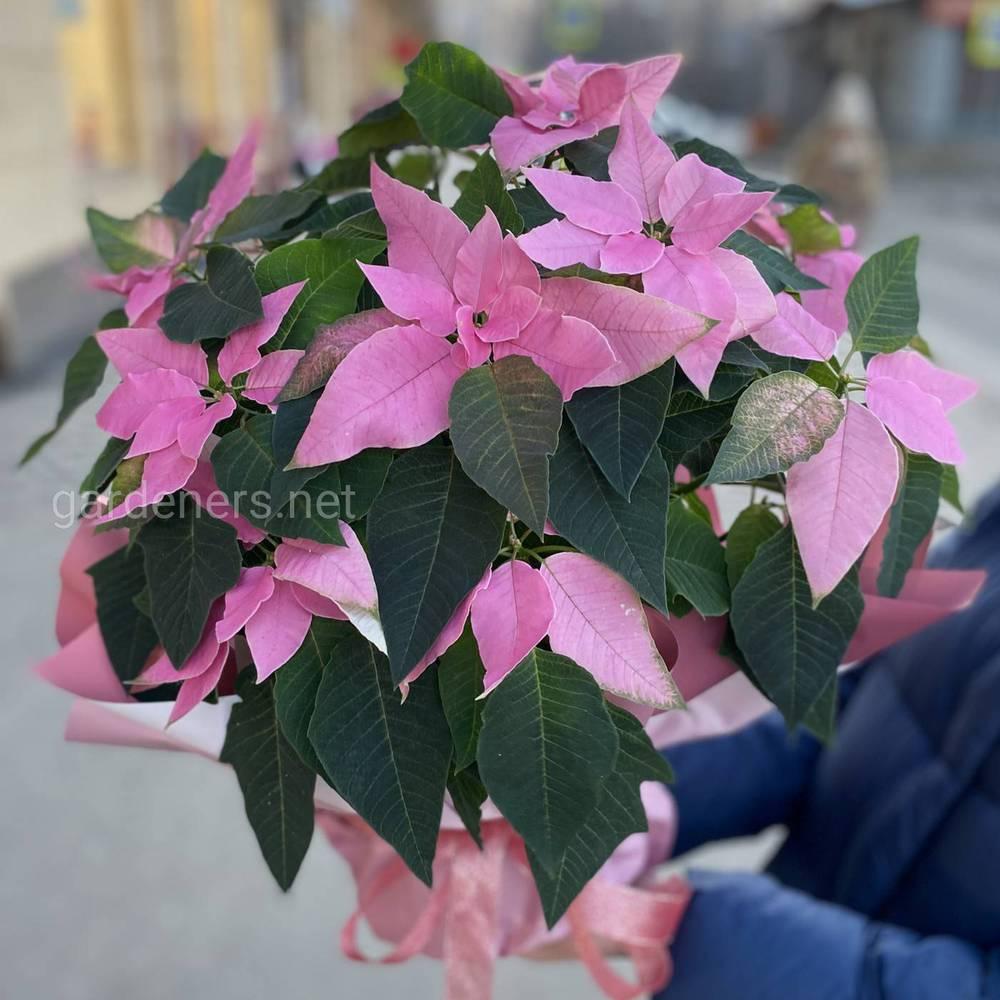 Розовая Пуансеттия