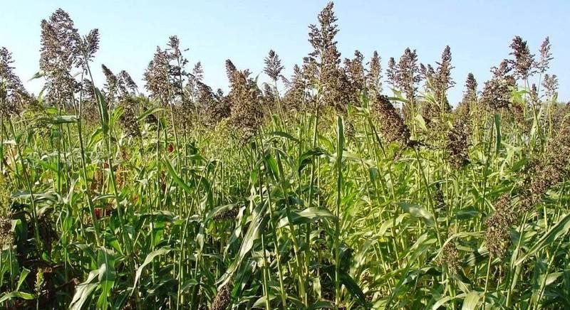 Суданская трава – лучший корм для животных
