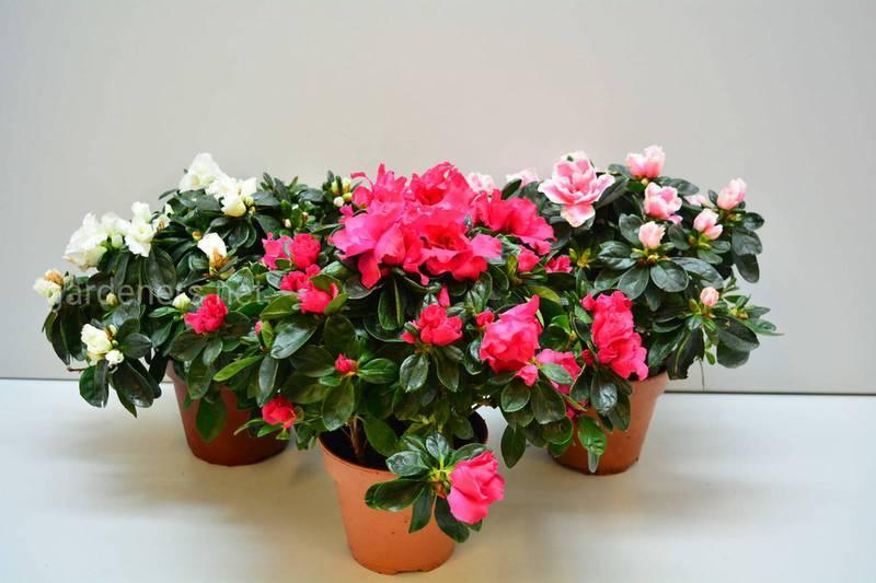 Какие комнатные растения цветут зимой? Часть 2