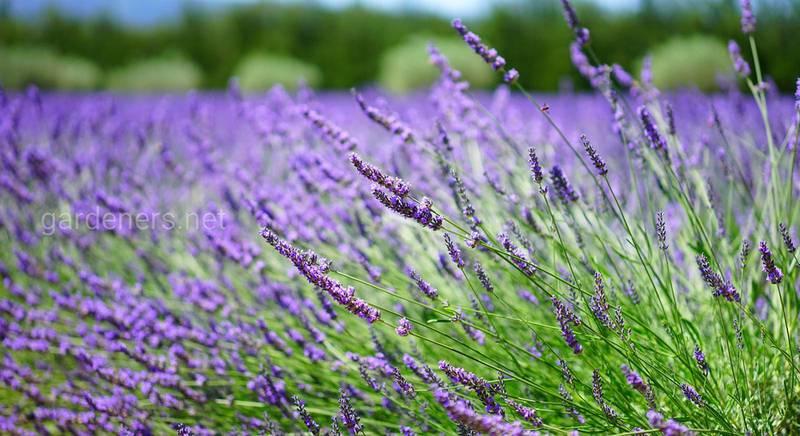 Как выращивать, ухаживать и применять лаванду?
