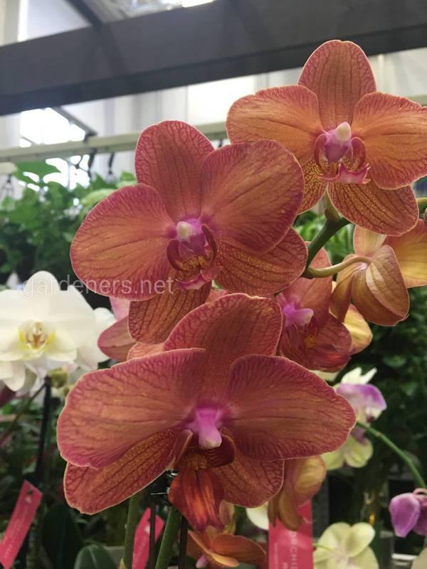 Орхидея фаленопсис: правила выбора, субстрат и расположение