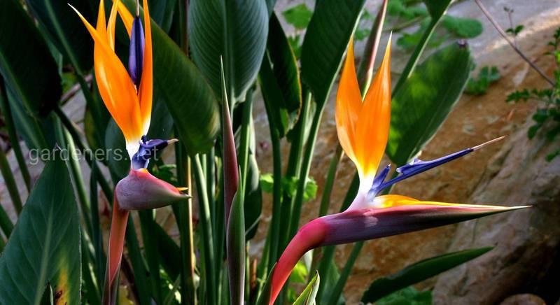 Выращивание стрелиции в саду: секрету полива и удобрения райской птицы, способы размножение