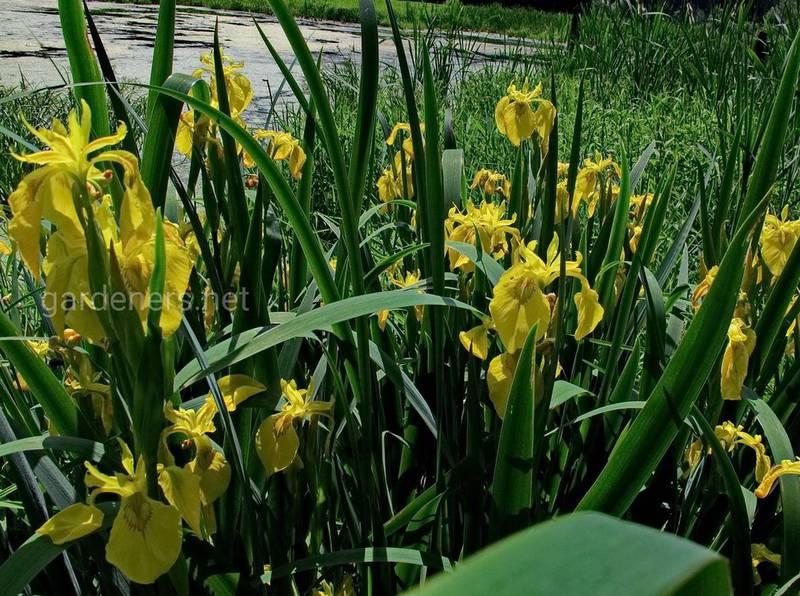 Ирис ложноаировый (болотный)