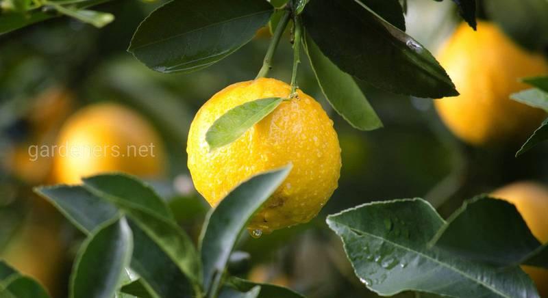 Топ-20: интересные факты о лимонах