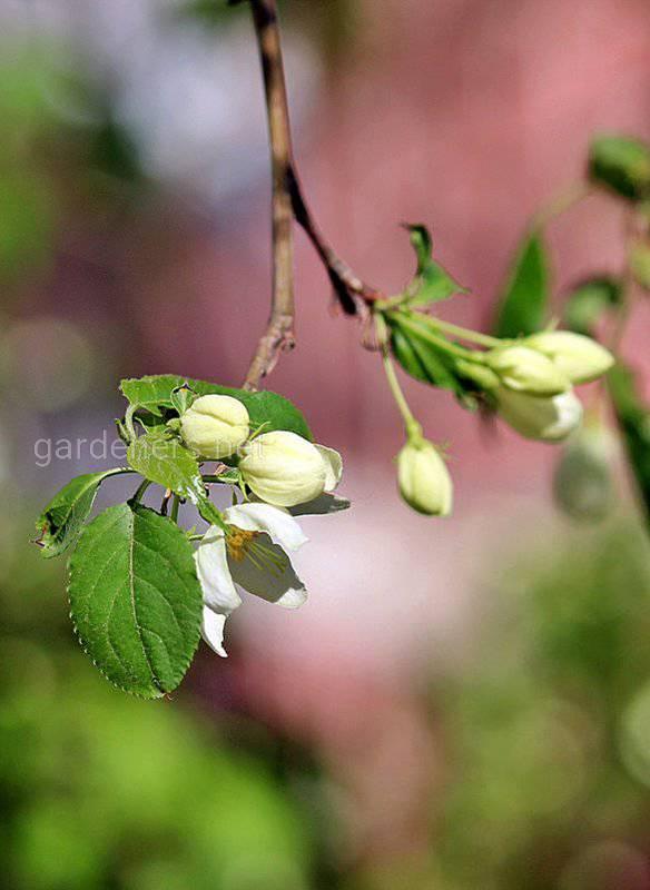 Формирование цветочных почек является важным фактором плодородия